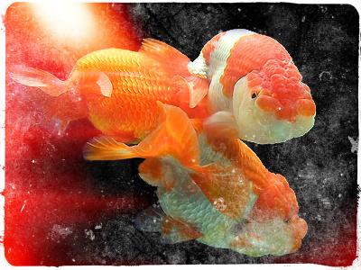 lionhead_goldfish_retouched.jpg