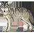 荒野の銀狼